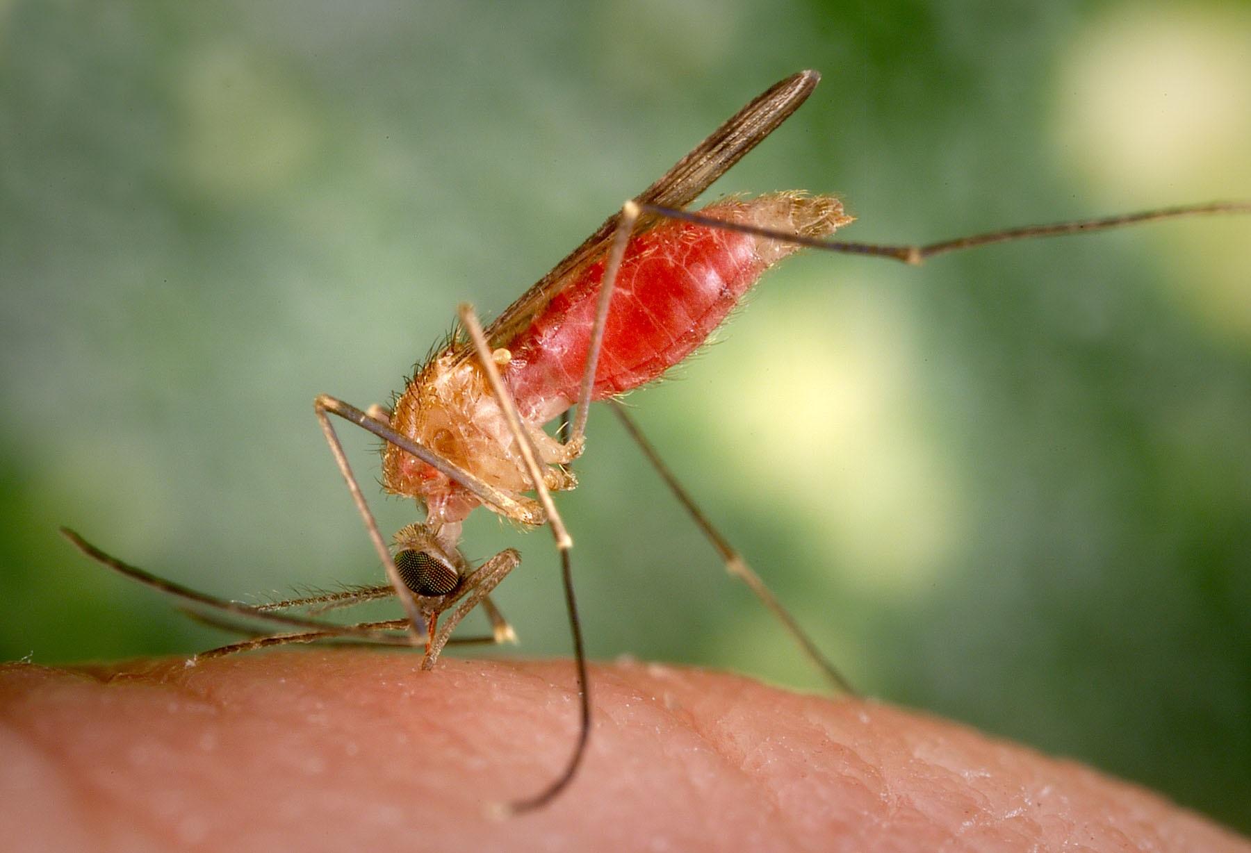 Image of Anopheles gambiae mosquito.